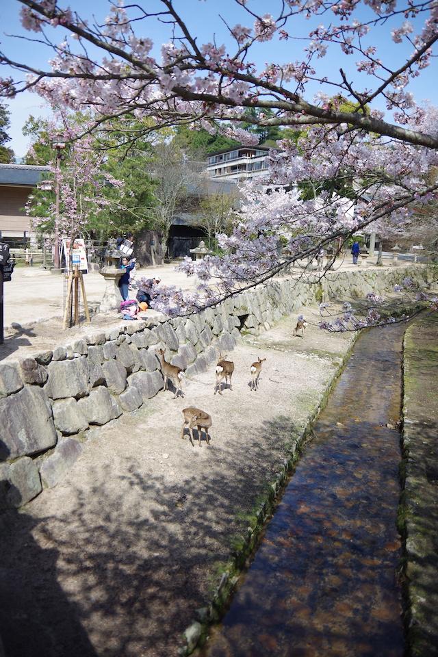 春の宮島世界遺産厳島神社・宮島水族館(みやじマリン)26